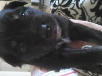 Contact Seller This puppy is a black tri with tan
