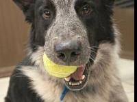 Australian Shepherd - Blue - Medium - Adult - Male -