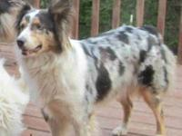 4 year old female very good natured Australian Shepherd
