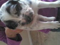This Blue Merle male puppy. His Dam is registered with