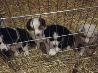 3/4 Australian Shepherd/ 1/4 Border Collie Pups They