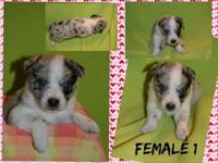 The daddy to these dogs is an Australian Shepherd, and