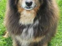 Australian Shepherd - Buckeye - Medium - Young - Male -
