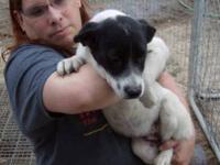 Australian Shepherd - Cinder - Medium - Young - Male -