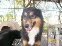 Australian Shepherd - Dundee - Medium - Adult - Male -