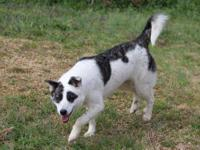 Australian Shepherd - Electra - Medium - Young - Female