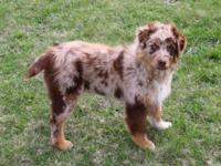 Ginger is a lovely Australian Shepherd Girl. She is 4