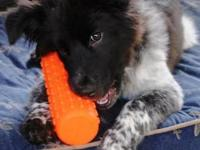 Australian Shepherd - Fluffy - Medium - Baby - Female -