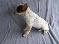 Australian Shepherd/Heeler Mix Puppy Female Born May
