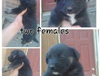 Australian Shepherd Heeler mix pups there is a rehoming