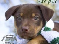 Australian Shepherd - Joy - Large - Baby - Female -