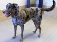 Australian Shepherd - Katie - Large - Adult - Female -