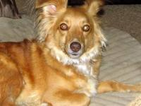 Australian Shepherd - Konner - Medium - Adult - Male -