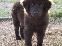 Australian Shepherd - Kylie - Large - Baby - Female -