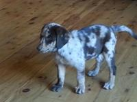 9 week old red merle sheprador puppy is ready now. She