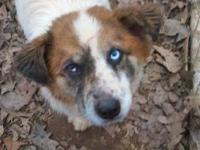Australian Shepherd - Lana - Medium - Young - Female -