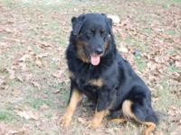 Australian Shepherd - Lissette - Large - Young - Female