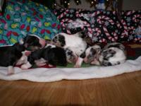 AKC litter due February 22,2015. All Tri litter! Will