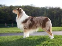 AKC and ASCA signed up Australian shepherd litter. Due