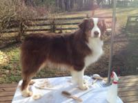 All tri litter of AKC Australian shepherds. Due around