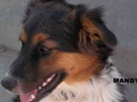Australian Shepherd - Mandy - Medium - Baby - Female -