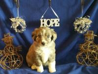 ASDR signed up Mini Aussie young puppy Female. Blue