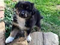 Ready to go to his new home! Australian shepherd male