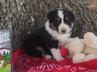 CKC Aussie puppies. Yes these children are the entire