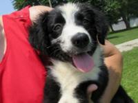 We have three beautiful Australian Shepherd Puppies.