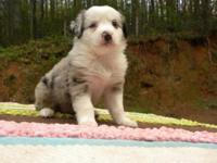 Australian Shepherd Puppies are here! I have 2 Black