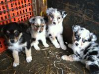Australian Shepherd Puppies 8 weeks old. Pure bred