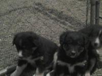 Australian shepherd puppies 8wks old shots and wormed