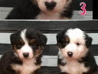 Hi there, I have (3) Black-Tri Females Aussie puppies