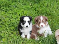 These beautiful puppies should mature close or under 14