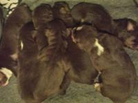 Australian Shepherd Puppies born 10/21. Will be ready