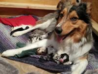 Purebred Australian Shepherd Puppies!!! Six red tri