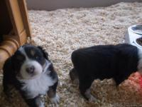 AKC, ASCA, Australian shepherd puppies Red-tri and