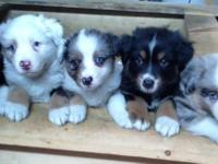 Beautiful Australian Shepherd Puppies for Sale.