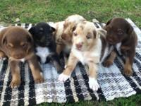Requirement size australian shepherd puppies. 2 red