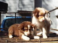 Australian Shepherd pups born 08/13/14. CKC registered,