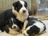 Beautiful, dynamic, lively and friendly puppies born