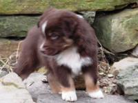 ASCA Registered Australian Shepherd young puppies are