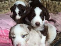 Red Merle and red Tri standard size born Feb 13th