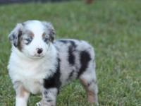 Cute Australian Shepherd Puppies, we are located in