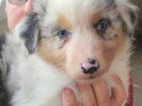 Australian Shepherd puppies. Champion bloodlines. Ten