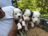 Australian shepherd puppies, beautiful markings on all