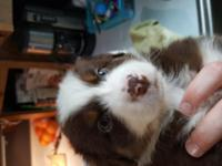Beautiful NSDR registered Aussie puppies.  akc