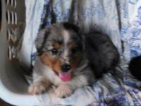 8, standard Australian Shepherd puppies ASDR reg.