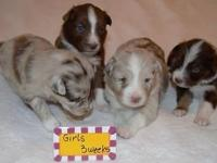 Beautiful Purebred Australian Shepherd Puppies Red