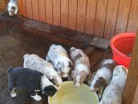 ASDR registered Aussie puppies. 4 males 3 females.